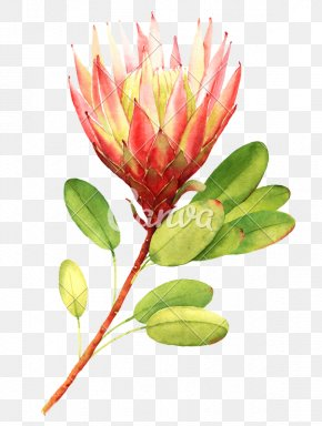 Protea Spp Protea Cynaroides - Flower Bouquet Stock Photography Drawing Floral Design PNG
