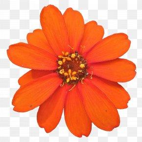 Peach Flower - Flower Marigold Desktop Wallpaper PNG