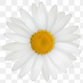 Daisy Clipart Image - Roman Chamomile Oxeye Daisy Transvaal Daisy Chrysanthemum Argyranthemum Frutescens PNG