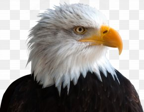 Eagle - Alaska Zoo Zion Christian Academy Bald Eagle Bird PNG
