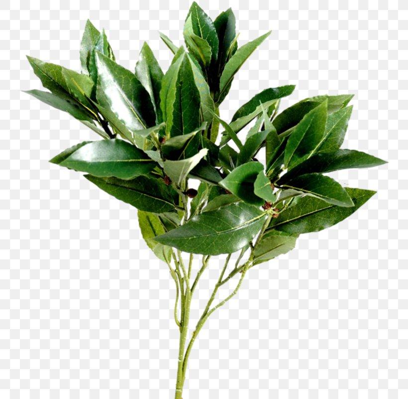 Leaf Branch Tree Plant Stem, PNG, 747x800px, Leaf, Bay Laurel, Branch, Evergreen, Flower Download Free