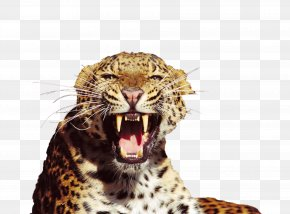 Mouth Chewing Teeth Of The Snow Leopard - Tiger Snow Leopard Amur Leopard North-Chinese Leopard Felidae PNG