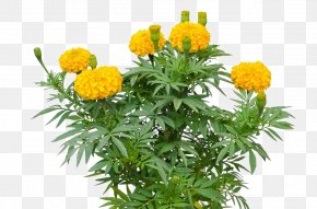 Marigold Flower - Mexican Marigold Tagetes Lucida Mexican Sunflower PNG