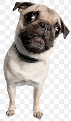 Pugs - Pug Toy Bulldog Puppy Dog Breed Companion Dog PNG