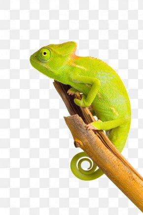 Chameleon Image - Chameleons Printing PNG