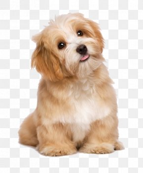 Lovely Long-haired Dog Tongue - Havanese Maltese Dog Poodle Puppy Cat PNG