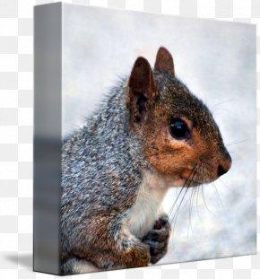 Squirrel - Fox Squirrel Eastern Gray Squirrel Western Gray Squirrel Animal PNG
