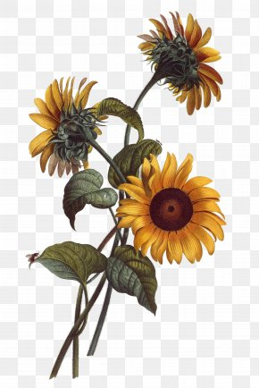 Hand Painted Sunflower - Common Sunflower Watercolor Painting Drawing Botanical Illustration Illustration PNG
