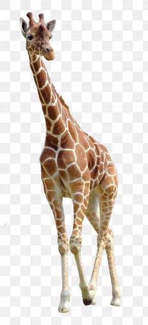 Giraffe - Northern Giraffe Download PNG