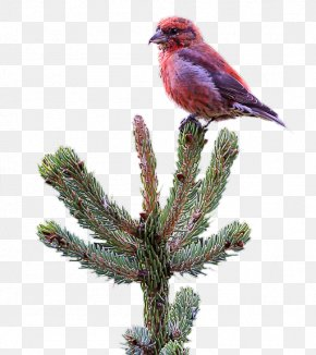 Red Crossbill - Pine Beak Feather Christmas Ornament Fauna PNG