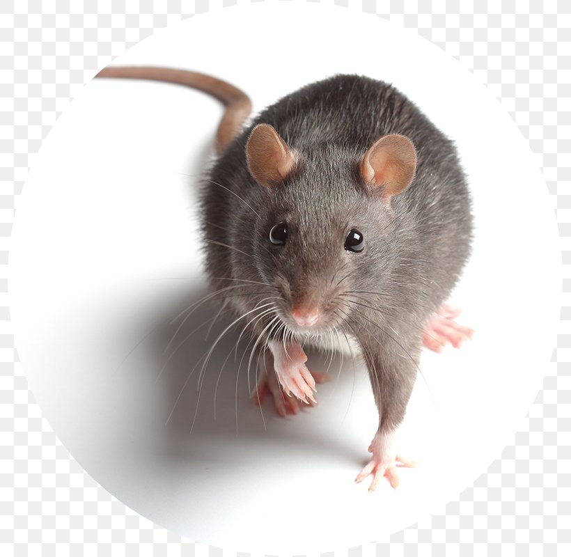 Brown Rat Black Rat Mouse Rodent Pest, PNG, 800x800px, Brown Rat, Black Rat, Bush Rat, Dormouse, Exterminator Download Free