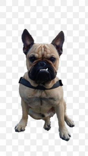 French Bulldog - Toy Bulldog Pug Dog Breed Companion Dog PNG
