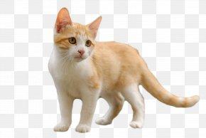 Kitten - Kitten American Wirehair Aegean Cat European Shorthair British Shorthair PNG