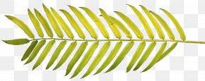 Leaf - Arecaceae Palm Branch Palm-leaf Manuscript Frond Clip Art PNG