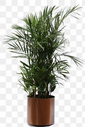 Plants - Weeping Fig Houseplant Guiana Chestnut PNG