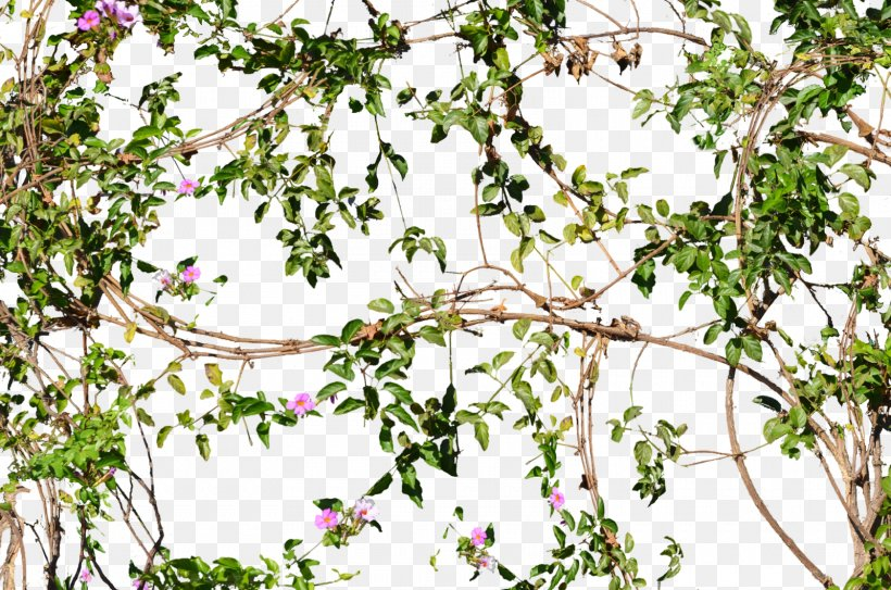 Vine Flower Tree Wall, PNG, 1600x1060px, Vine, Blossom