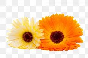 Marigold Close-up Image - Calendula Officinalis Orange Flower PNG