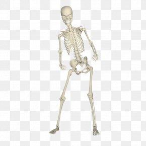 Dancing Skeleton Shelf - Human Skeleton Bone Skull PNG
