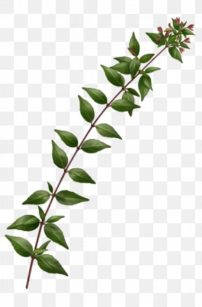 Long Green Leaves - Twig Leaf Green PNG