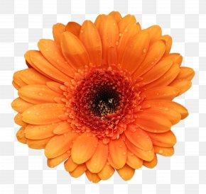 Marigold - Gerbera Jamesonii Flower Stock Photography Orange PNG