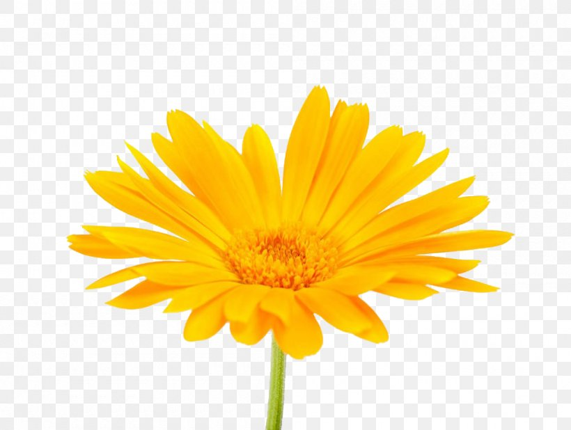 Calendula Officinalis Mexican Marigold Flower Stock Photography, PNG, 1000x754px, Calendula Officinalis, Calendula, Chrysanths, Common Daisy, Daisy Download Free