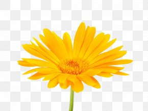 South African Marigold Photography - Calendula Officinalis Mexican Marigold Flower Stock Photography PNG