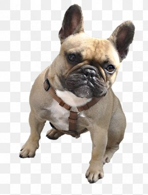 Pug - Boxer Animal PNG