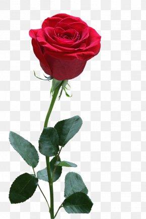 Rose Pattern - Rose Download PNG