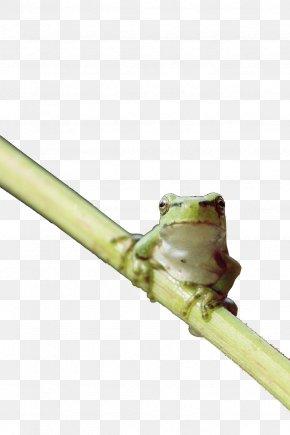 Green Tree Frog - American Green Tree Frog Pool Frog PNG