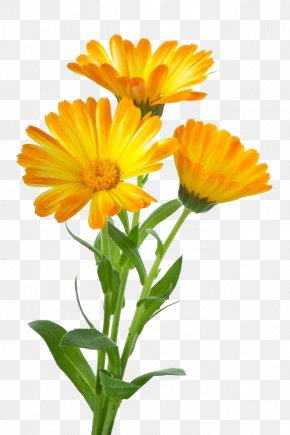 Three To Pull The Material Marigold Free - Calendula Officinalis Stock Photography Royalty-free Clip Art PNG
