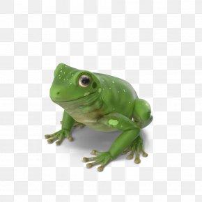 Australian Green Tree Frog - True Frog Green Tree Frog PNG