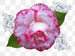 Perennial Plant Impatiens - Pink Flower Cartoon PNG