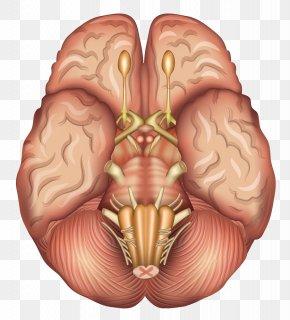 Human Brain Model - Human Brain Anatomy Sagittal Plane Pituitary Gland PNG