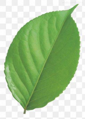 Leaf - Leaf Circle Green PNG