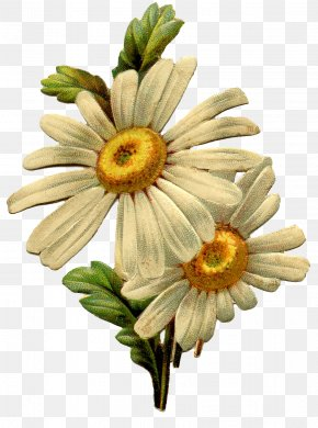 Daisy - Common Daisy Vintage Clothing Antique Clip Art PNG