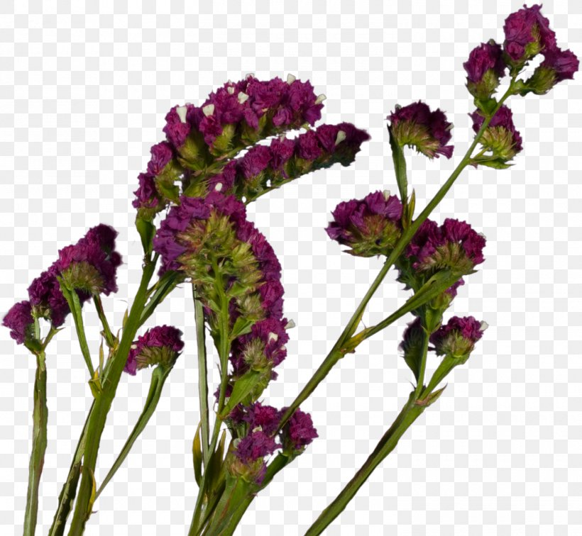 Plant French Lavender Violet Cut Flowers Herb, PNG, 1500x1383px, Plant, Amaranth, Amaranth Family, Annual Plant, Cut Flowers Download Free