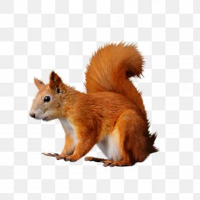 Squirrel - Squirrel Computer Mouse Clip Art PNG