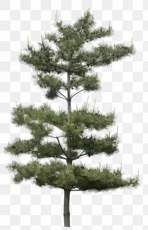 Fir-tree - Gum Trees Pine Plant PNG