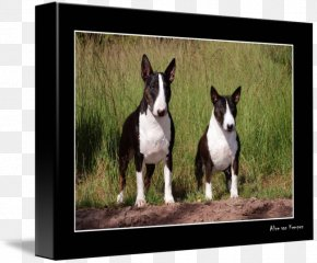 Bull Terrier - Miniature Bull Terrier Boston Terrier Dog Breed American Staffordshire Terrier PNG