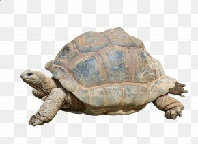 Turtle - Turtle Reptile Aldabra Giant Tortoise PNG