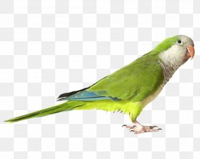 Green Parrot Images Download - Parrot Download PNG