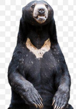 Bears - American Black Bear Western Gorilla Sun Bear Common Chimpanzee PNG