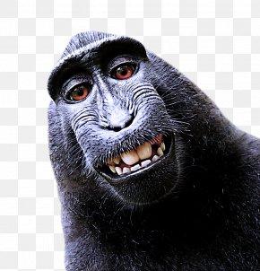 Smile Common Chimpanzee - Old World Monkey Snout Macaque Wildlife Common Chimpanzee PNG
