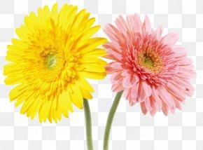 Yellow Pink Chrysanthemum - Chrysanthemum Indicum Yellow Pink Gratis PNG