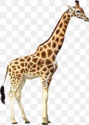 Giraffe - Giraffe Who Let The Kids Out Wall Decal Animal Wallpaper PNG