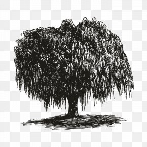 Tree - Weeping Willow How To Draw Trees Gift Root PNG