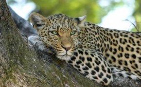 Leopard - Jaguar Lion Javan Leopard Wildcat PNG