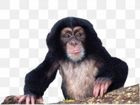Gorilla - Gorilla Chimpanzee Material Culture: Implications For Human Evolution Uncommon Animals Rare Species PNG