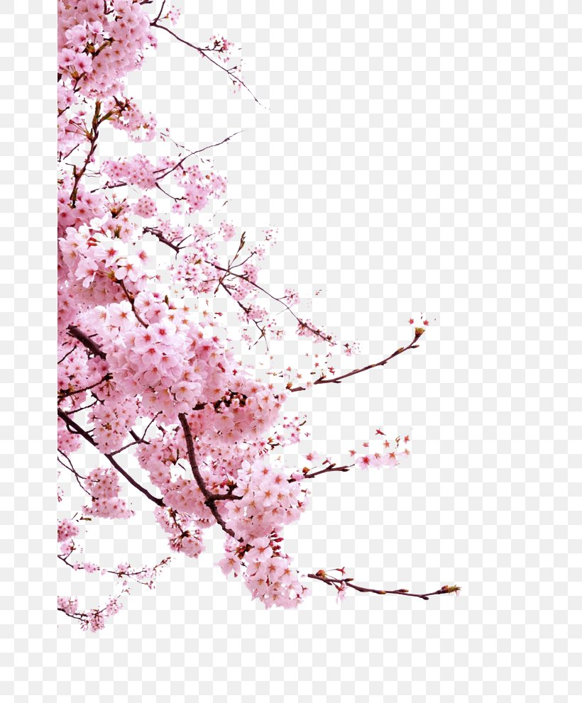 Cherry Blossom Cerasus Icon, PNG, 658x991px, Cherry Blossom, Blossom, Blossomcherry, Branch, Cherry Download Free