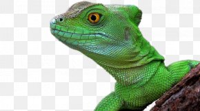 Lizard - Lizard Reptile Chameleons Common Iguanas Desktop Wallpaper PNG
